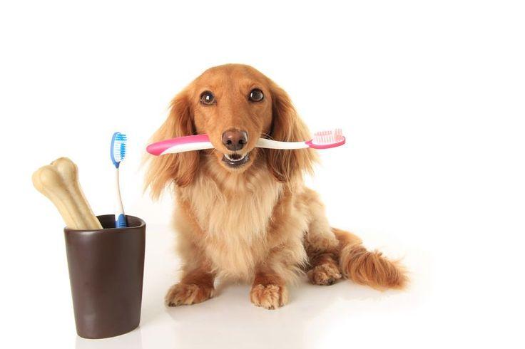 Köpeklerde Diş Sağlığı ve Bakımı Evcil hayvan bakımında, en ihmal ettiğimiz konu diş sağlığıdır. Oysa dişlerde meydana gelen tartar, plak ve diş eti iltihabı gibi sorunlar, özellikle köpekleri mutsuz eder ve bu sorunlar bir çok viral hastalığın belirtisi olabilir. Haberin devamı ajanimo.com'da