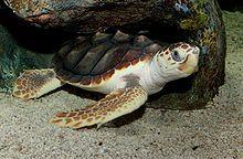 http://en.wikipedia.org/wiki/Loggerhead_sea_turtle
