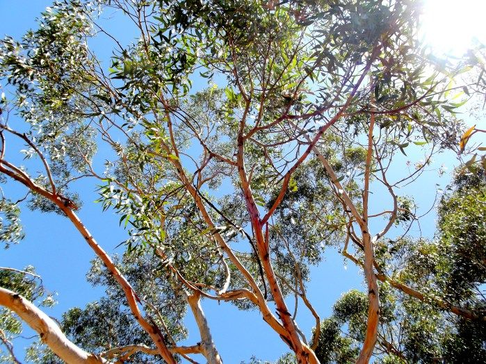 A Perth day of 100 degrees and the sky shining through salmon gum under a brilliant blue sky.