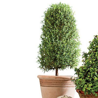 Try a Rosemary Topiary-Rosemary prefers to live outside but can last the winter indoors. Bright light and good drainage are musts. Allow plants to dry out slightly between waterings, and don't let them stand in saucers of water. Good air circulation and cool nights lessen pest problems. Move them outside as soon as all chance of frost has passed. Feed once in late spring with a controlled-released fertilizer such as Osmocote.