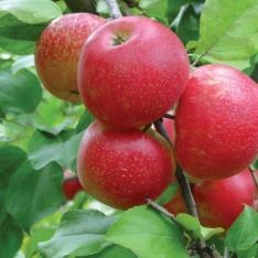 Honeycrisp Apple Trees--The Best! Great for eating, canning, applesauce and storage.