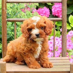 Cavapoo Puppies For Sale In DE MD NY NJ Philly DC and Baltimore