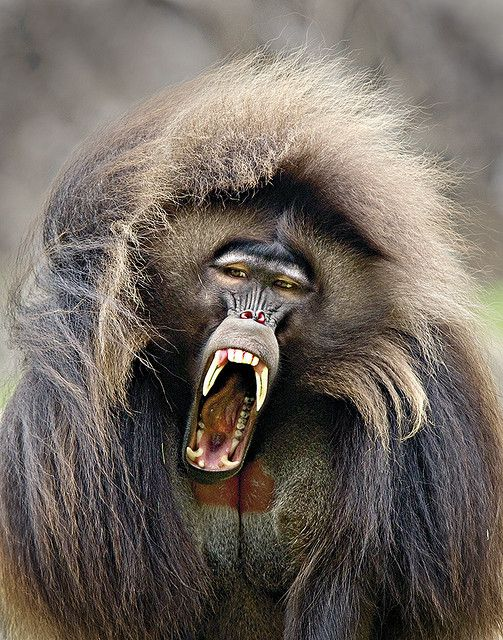 "Gelada Monkey.  ""Screaming Baboon.""  (Not a baboon, though it does look like one.)"