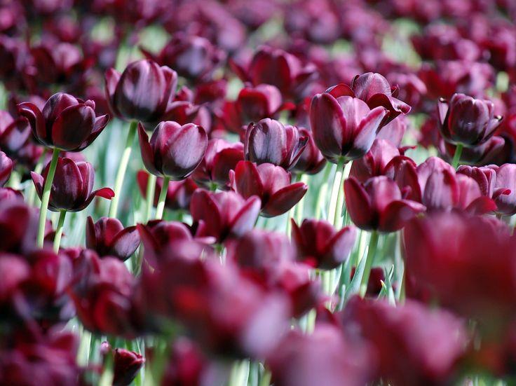 Tulipánok (Vácrátót)