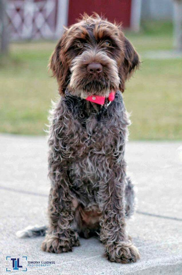 Ludwig ~ Wirehaired Pointing Griffon Pup ~ Classic Look