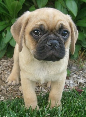 Puggle - pug/beagle mix. ZOMG i want a puppy to cuddle.