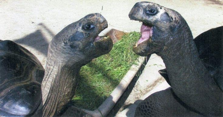 Bibi e Poldi, tartarugas gigantes que vivem há 36 anos juntas em um zoológico da Áustria, serão separadas. A administração do local (Klagenfurt, sul da Áustria) diz que os animais não se suportam mais