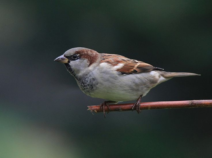 Listen to House Sparrow on british-birdsongs.uk, which is a comprehensive collection of English bird songs and bird calls.