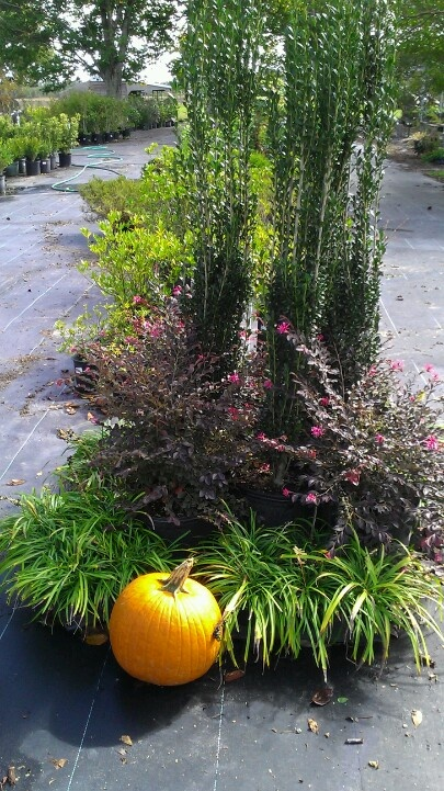 Sky pencil hollies daruma loropetalum liriope stuff to for Affordable landscaping adelaide