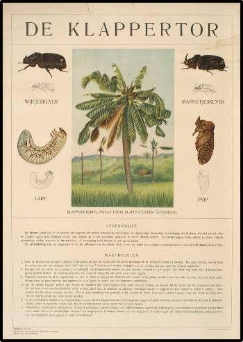 Onderwijsplaat van de aantasting van de kokospalm door de klappertor. Uit de collectie van het Universiteitsmuseum Utrecht