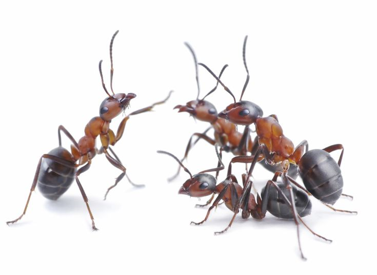 5 Common Types of Ants in Maryland and How to Keep Them Out of Your Home. 25  unique Types of ants ideas on Pinterest   Ant types  Different