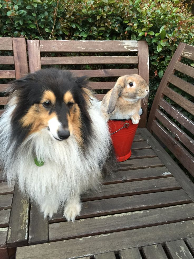 Ollie the rabbit and Flynn the sheltie