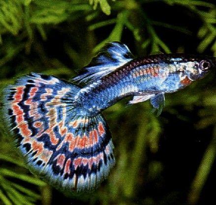 Un super beau guppy, poisson d'eau douce