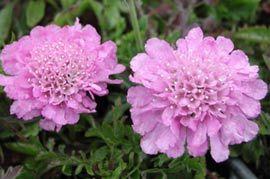 Scabiosa columbaria 'Pink Mist' - Tauben-Skabiose