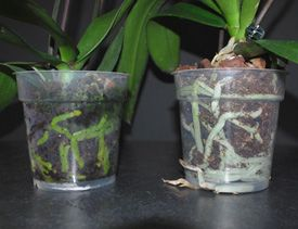 Orchid Roots as Watering Indicator  Well-watered roots should be a healthy green color, while grayish-white roots indicate more water is needed.