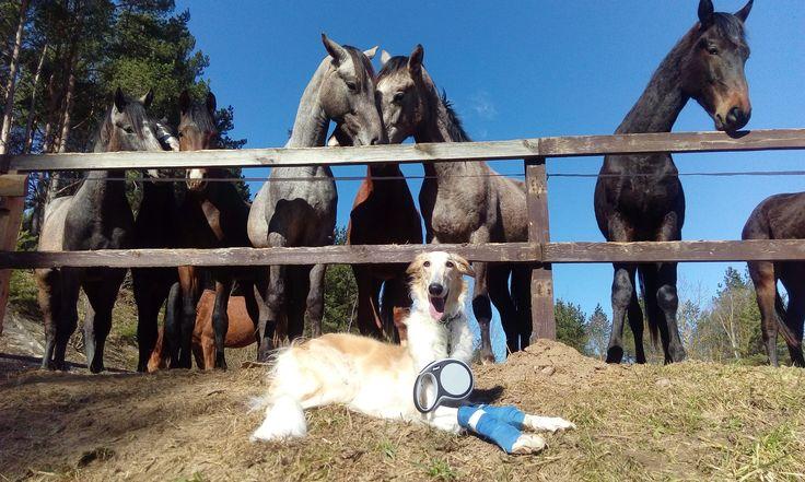 Из-за болезни мы с Разгуляем не можем ходить в конные походы, даже в самые короткие.Более того даже прогулка больше пяти километров для него очень тяжела и болезненна.Но любовь к лошадям, заставляет мою собаку останавливаться возле лошадей каждый раз. :-)