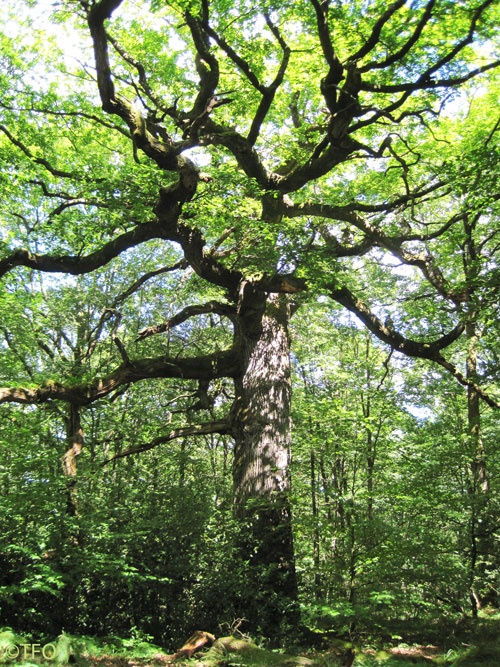 Chêne des Hindrés, one of the oldest oak trees in the Forêt de Paimpont, once known as Forêt de Brocéliande, a magical forest at the heart of King Arthur's Legend and home to Merlin the Wizard, Vivien the Fairy and Morgan...