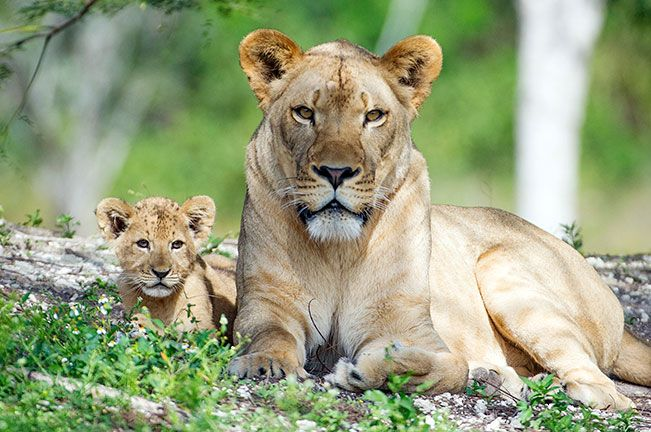 What do you call a baby lion that roars? Kitty Purry. Zoo Miami http://www.destinationcoupons.com/florida/miami/miami-zoo/miami-zoo-coupons.asp #Coupon #SoFla #Deals #Zoo #Miami