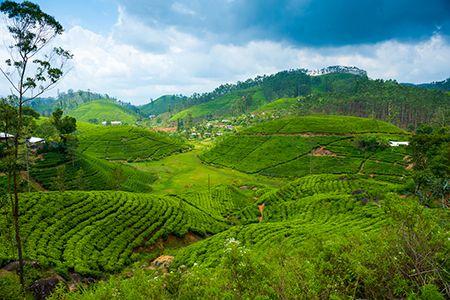 SANQUAR ESTATE (Green Tea)
