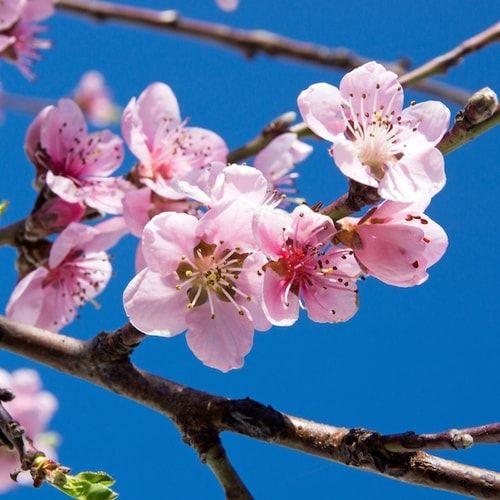 Fiori di ciliegio: il significato dei fiori sakura