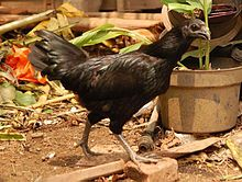 Ayam Cemani -- a pure black chicken, including black meat and black organs. Blood is dark colored, eggs are pink. Do want!