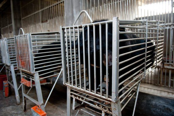 "An article from 2013, but the practices of ""milking"" and poaching for bear bile continue throughout Asia. CITES lists the Asian black bear in Appendix I, meaning that the bear is one of the most endangered species in the world, threatened with extinction. Trade in them or their parts is illegal. Yet, the bears continue to be farmed and poached, even though there are herbally-derived and synthetic alternatives to the active ingredient found in bile, UDCA."