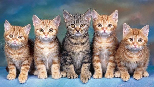 La toxoplasmosis y otras enfermedades que te puede transmitir un gato. Si bien hay mitos relacionados a la infertilidad a causa del contacto con gatos, esta no es cierta de acuerdo a los especialistas.