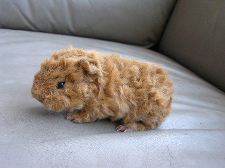 This guinea piglet is a cutie!