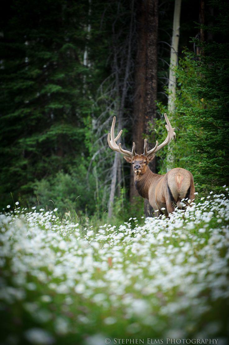Wildlife Photography (Elk)