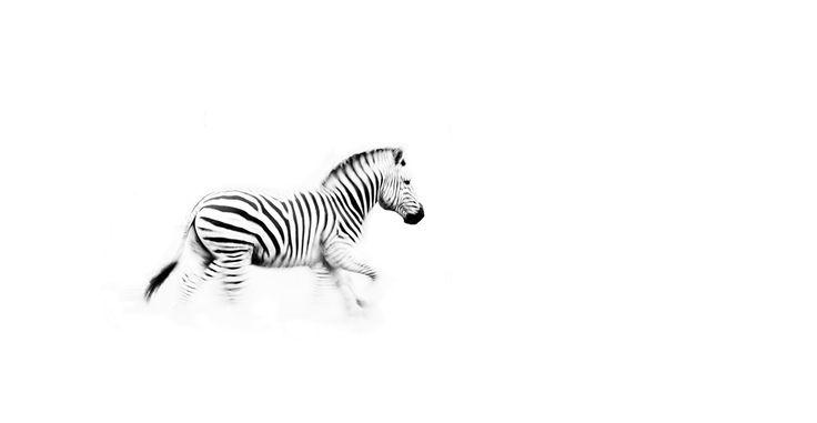 black and white zebra running panoramic print