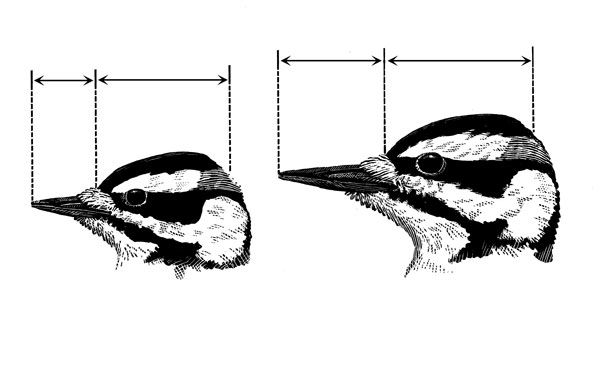 how to tell downy woodpecker from hairy