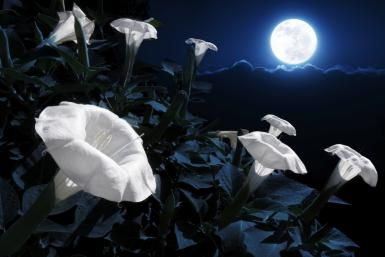 MoonGarden Many Pagans love to garden, but a lot of people don't realize you can grow plants and flowers that bloom at night.