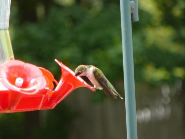 hummingbird homemade hummingbird - Homemade Hummingbird Food