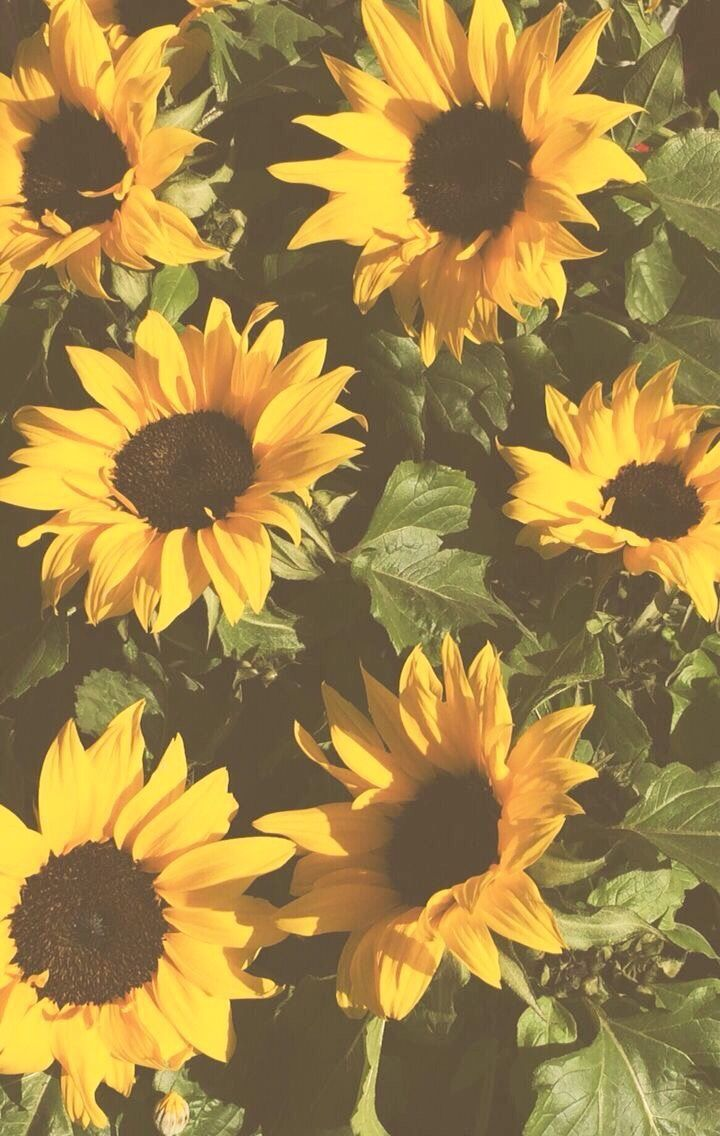 Sunflowers Astheticwallpaperiphonevintage Sunflowers Background Sunflower Wallpaper Sunflower Iphone Wallpaper