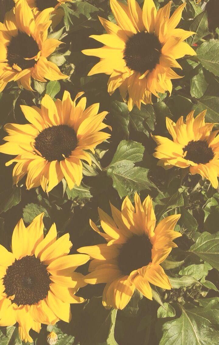 Sunflower Tumblr Background : sunflower, tumblr, background, Sunflowers, #astheticwallpaperiphonevintage, Sunflower, Iphone, Wallpaper,, Background