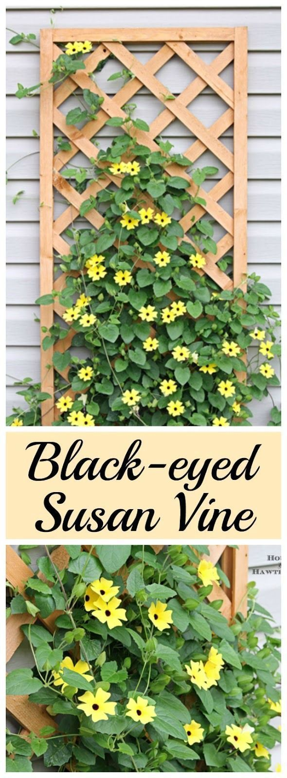 Best DIY Projects: Black-eyed Susan vine - you must plant one of these in your garden this year - its the vine that keeps going strong all summer long