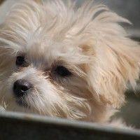 #dogalize Malattie del cane Barboncino, quali sono #dogs #cats #pets