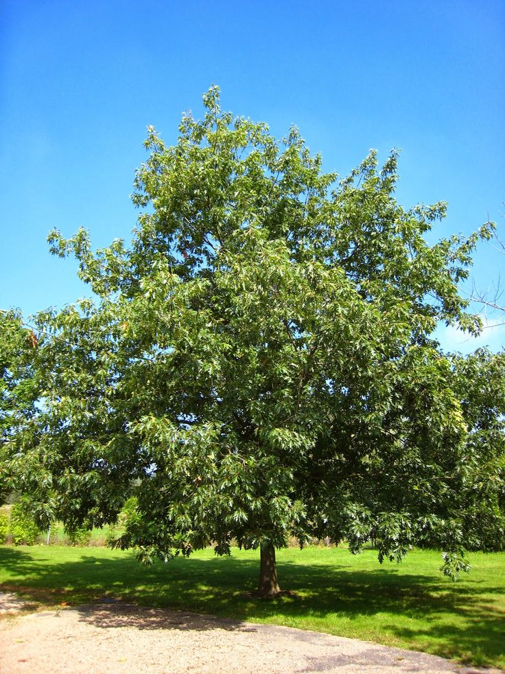 Oak Tree Fruit Part - 44: Trees Planet: Common Name - Red Oak