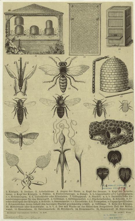 Antique bee illustration .