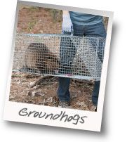 All About Groundhogs - Baits Once you find the best trap for your groundhog problem, it is time to identify the perfect bait.
