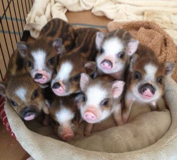 a bunch of cute baby pigs