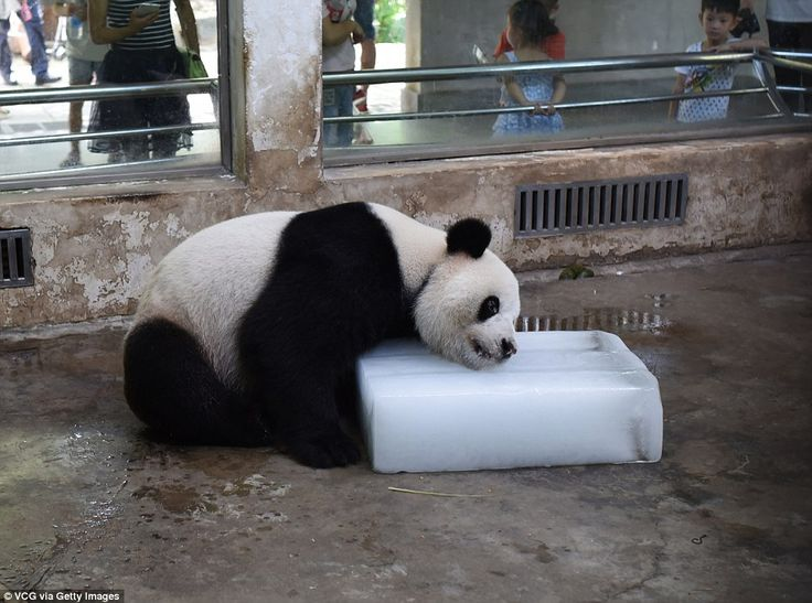 Weiwei too hot: Temperatures reached a sweltering 36C in the Hubei Province of China and it was all a bit much for this panda