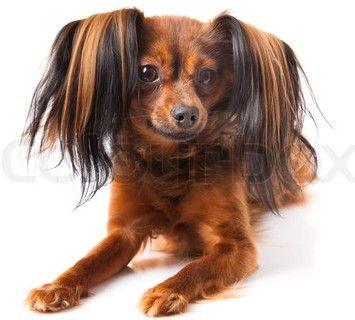 Russian Toy Terrier Spaniel #Dog #Puppy #Puppies