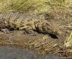 krokodýl olivový