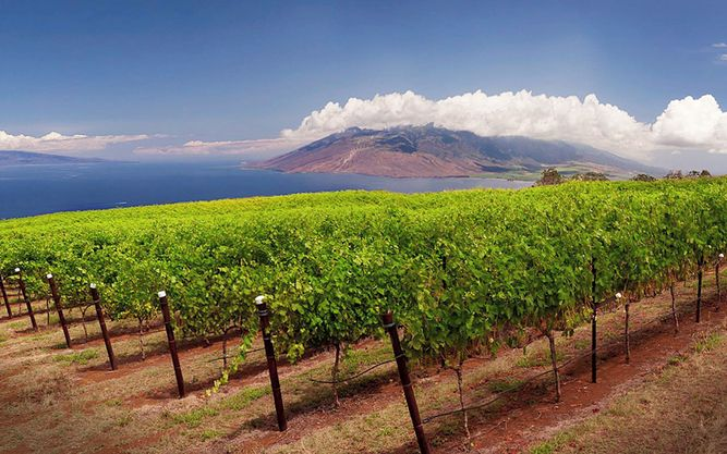 Maui Wine and Vineyard in Maui