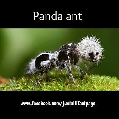 Just a lil fact!: Just PANDA ANT!