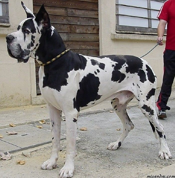 Great Dane Dogs Harlequin