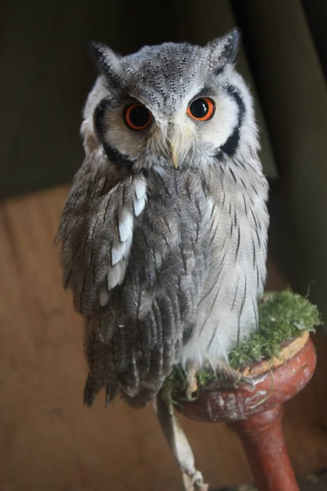 Beautiful tiny owl at Mary Arden Farm (Stratford upon Avon) http://www.shakespeare.org.uk/visit-the-houses/mary-ardens-farm.html