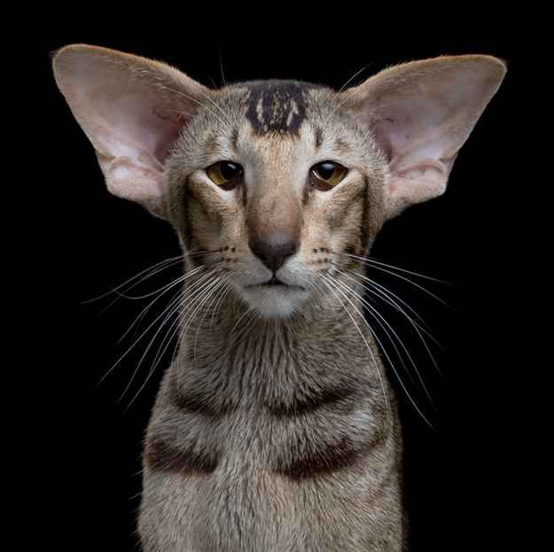 Ming, the Oriental Shorthair, resented his human's new boyfriend for the way he…