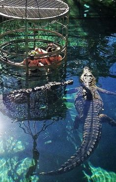 Crocodile cage-diving at the Cango Park in South Africa. https://ExploreTraveler.com